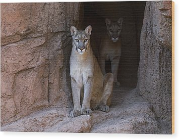 Wood Print featuring the photograph Mountain Lion 1 by Arterra Picture Library