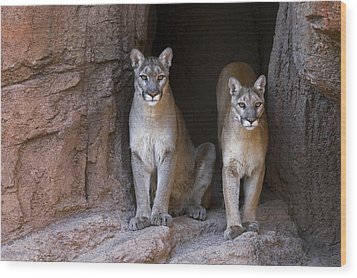 Wood Print featuring the photograph Mountain Lion 2 by Arterra Picture Library