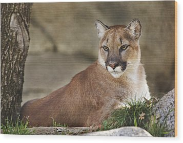 Mountain Lion  Wood Print by Brian Cross