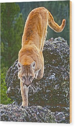 Wood Print featuring the photograph Mountain Lion by Judi Baker