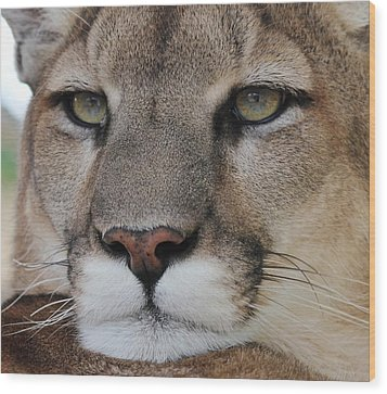 Mountain Lion Portrait 2 Wood Print by Diane Alexander