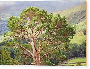 Mountain Pine Tree In Wicklow. Ireland Wood Print by Jenny Rainbow