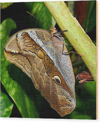 Wood Print featuring the photograph Mournful Owl Butterfly by Amy McDaniel