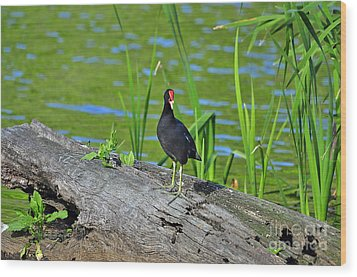 Mouthy Moorhen Wood Print by Al Powell Photography USA