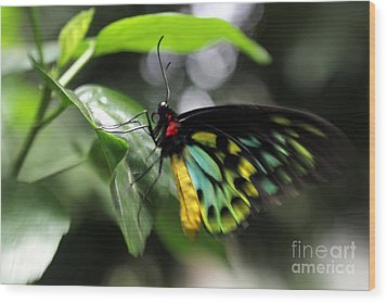 Wood Print featuring the photograph Mr. Cairns Birdwing by Mary Lou Chmura