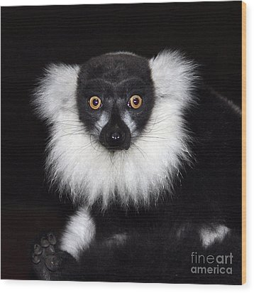 Wood Print featuring the photograph Mr Lemur by Terri Waters