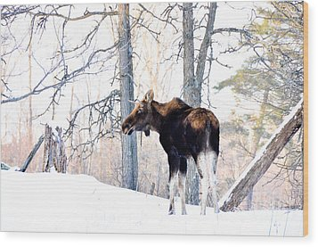 Mr. Moose Wood Print by Cheryl Baxter