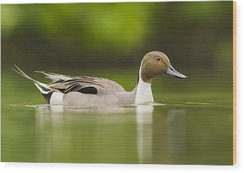 Mr Pintail  Wood Print by Mircea Costina Photography