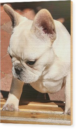 French Bulldog Ms Quiggly  Wood Print