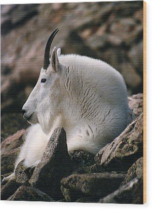 Mt Evans Mountian Goat Wood Print