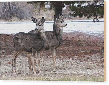 Mule Deer Fawns Wood Print