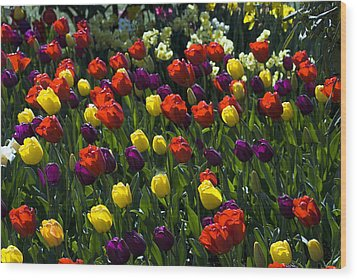 Multicolored Tulips At Tulip Festival. Wood Print