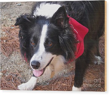 Female Border Collie Wood Print