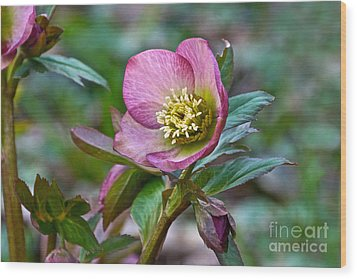 My Wild Xmas Rose Wood Print by Byron Varvarigos