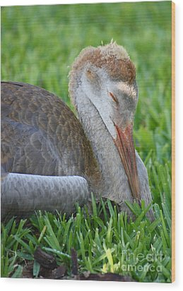 Napping Sandhill Baby Wood Print by Carol Groenen