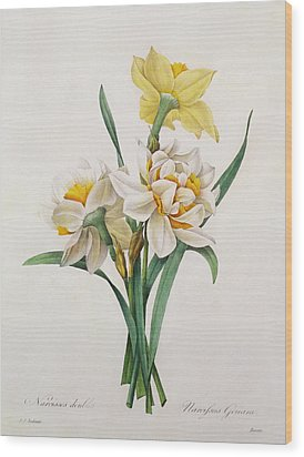 Narcissus Gouani Wood Print by Pierre Joseph Redoute