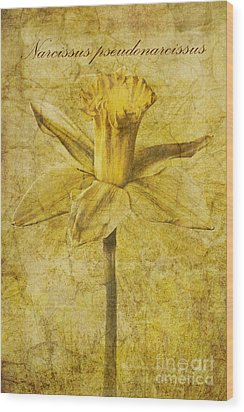 Narcissus Pseudonarcissus Wood Print by John Edwards