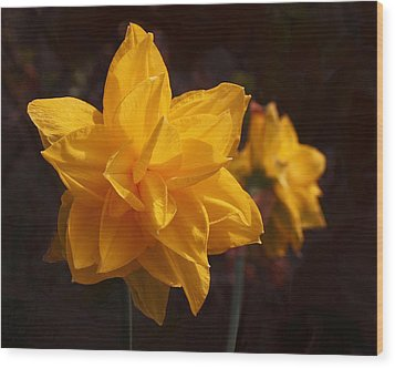 Narcissus Sweet Sue In Full Bloom Wood Print by Rona Black