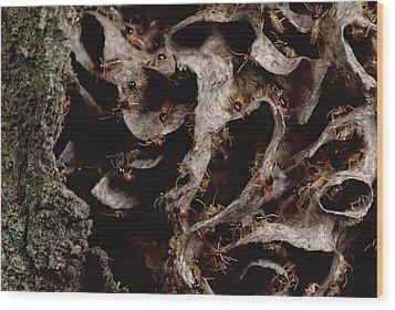 Nasute Termite Nest Amazonian Peru Wood Print by Mark Moffett