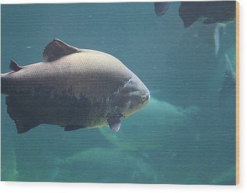 National Zoo - Fish - 011320 Wood Print by DC Photographer
