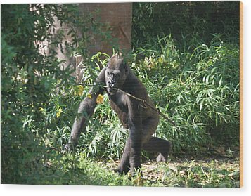 National Zoo - Gorilla - 121220 Wood Print by DC Photographer