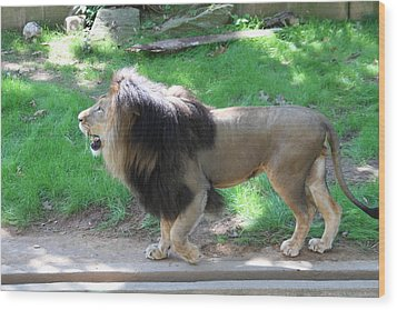 National Zoo - Lion - 01131 Wood Print by DC Photographer