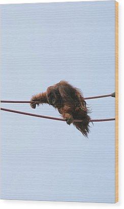 National Zoo - Orangutan - 121214 Wood Print by DC Photographer