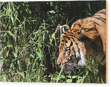 National Zoo - Tiger - 011311 Wood Print by DC Photographer