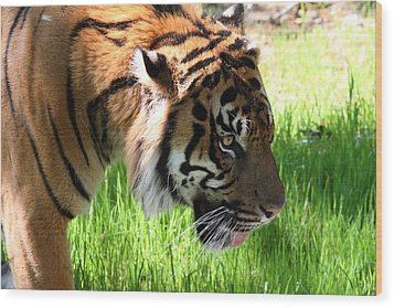 National Zoo - Tiger - 011321 Wood Print by DC Photographer