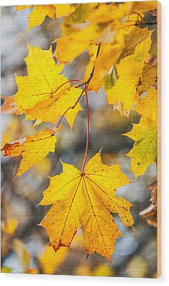 Natural Patchwork. Golden Mable Leaves Wood Print by Jenny Rainbow