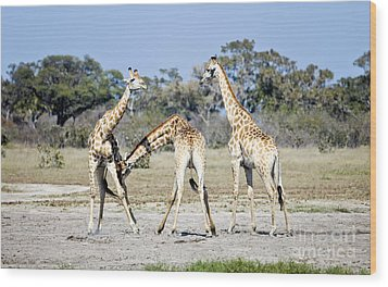 Wood Print featuring the photograph Necking Giraffes Botswana by Liz Leyden