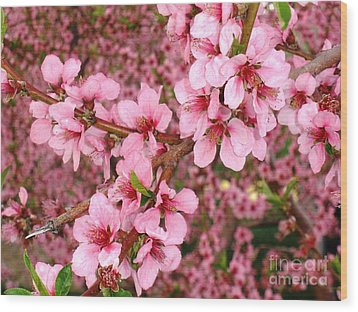 Nectarine Blossoms Wood Print by Polly Anna