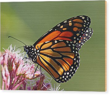 Nectaring Monarch Butterfly Wood Print by Debbie Oppermann
