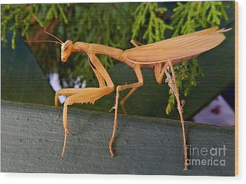 Neighborly Mantis Wood Print by Julia Hassett