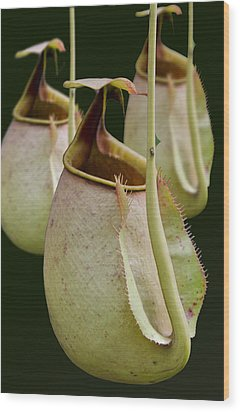 Nepenthes Wood Print by Roger Leege