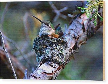 Nesting Hummingbird Wood Print