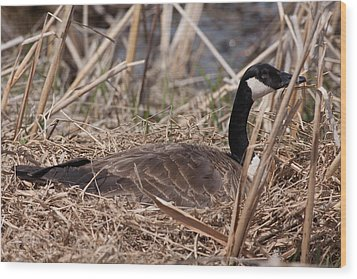 Nesting Mother Goose Wood Print by Natural Focal Point Photography