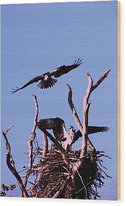 Nesting Ospray 2 Wood Print by Will Boutin Photos