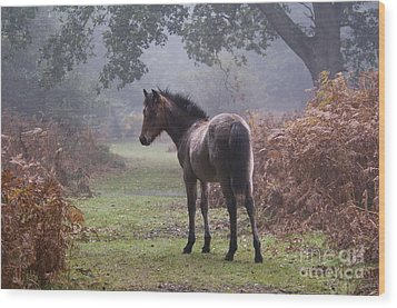 New Forest Pony Wood Print by Dave Pressland FLPA