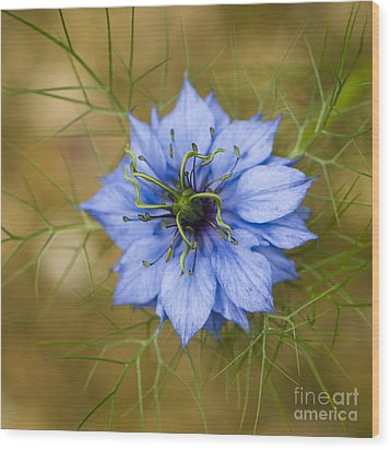 Nigella Damascena Wood Print by Anne Gilbert
