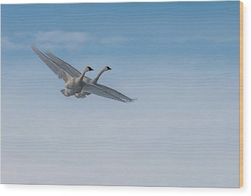 Trumpeter Swans Tandem Flight Wood Print