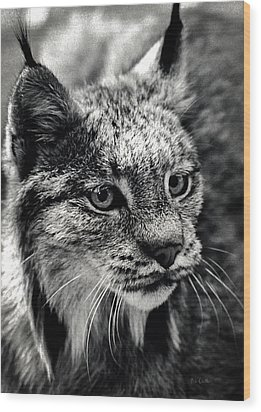 North American Lynx In The Wild. Wood Print by Bob Orsillo
