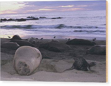 Northern Elephant Seal Cow And Pup At Sunset Wood Print by Don Kreuter