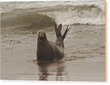 Wood Print featuring the photograph Northern Elephant Seal by Lee Kirchhevel