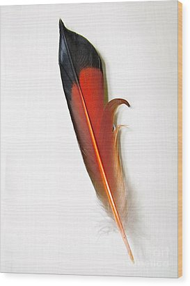 Northern Flicker Tail Feather Wood Print by Sean Griffin