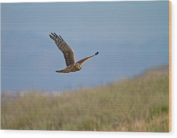 Northern Harrier In Flight Wood Print by Duncan Selby