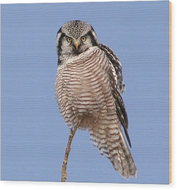 Northern Hawk Owl  Wood Print by Larry Trupp