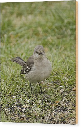 Northern Mockingbird Wood Print by Heather Applegate