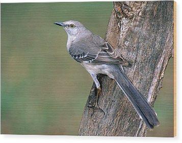 Northern Mockingbird Wood Print