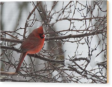 Northern Red Cardinal In Winter Wood Print